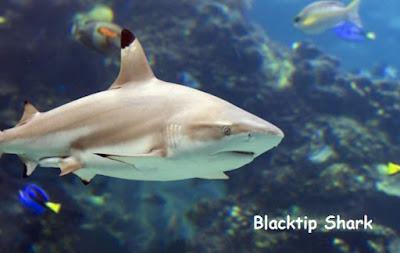 ikan hiu ukuran kecil sering bertemu penyelam