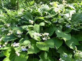 Deinanthe caerulea - Déinanthe à fleurs étonnantes