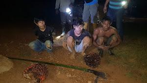 Ditangkap Scurity, Tiga Tsk Pencuri Sawit dan BB Diserahkan ke Polsek Tebo Ilir