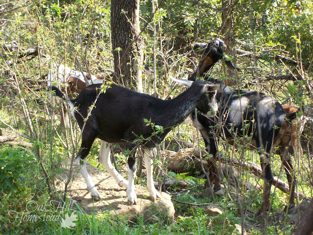 Black goats browsing in the woods