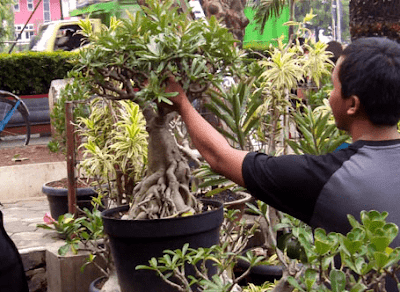 Perawatan Tanaman Bonsai Kamboja