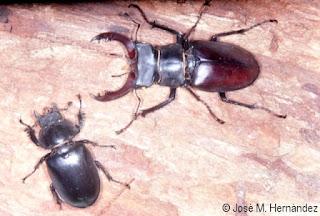 Los machos y las hembras tienen un dimorfismo sexual muy marcado