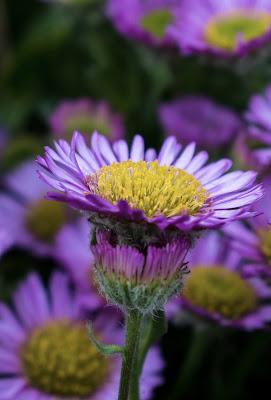 Photos by Cozmin Virlan foto apropiere floare