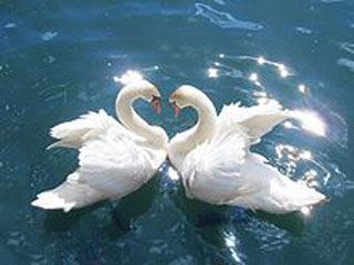 Cisne-simbolo-significado