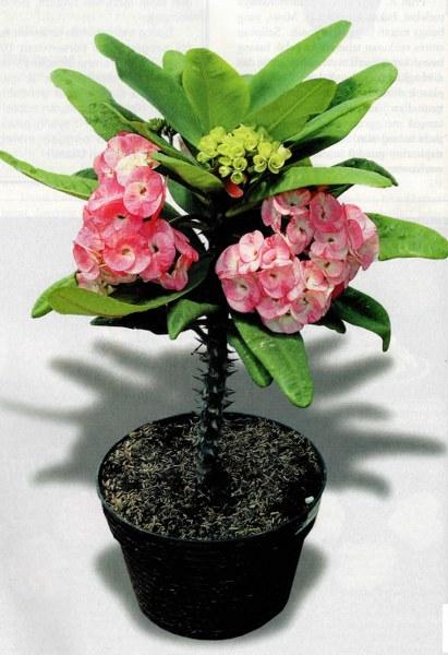 Koleksi Euphorbia Hasil Silangan Para Pehobiis
