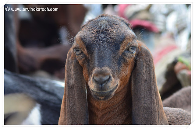 Wonderful expressions of a Goat