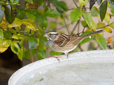 Photo of White-throated Sparrow on bird bath