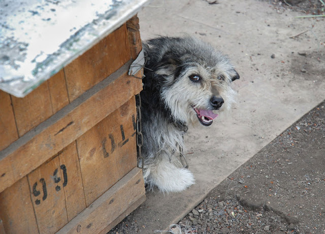 Street dogs can make good pets, like this happy little dog peering out of his dog house