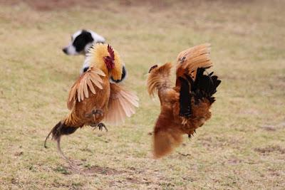 Cara Mengatasi Sifat Ayam Aduan Yang Penakut