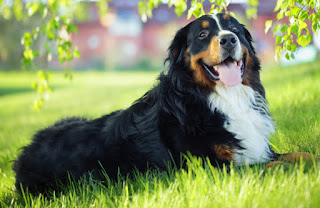 Everything about your Bernese Mountain Dog
