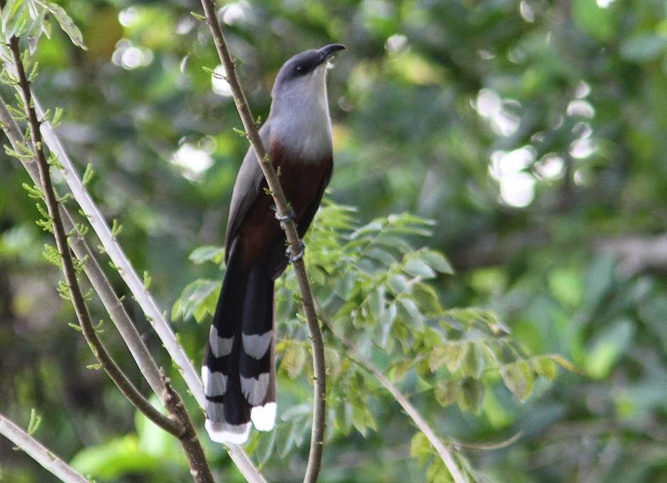 Cuco picogordo de Jamaica: Coccyzus pluvialis