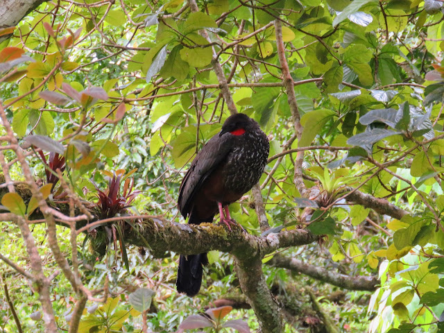 Costa Rica Birds: Crested guan