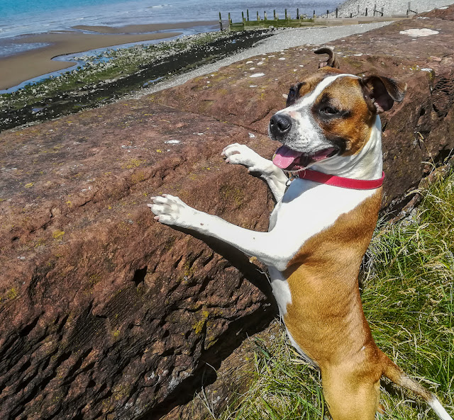 Photo of Ruby looking at the Solway Firth over a wall