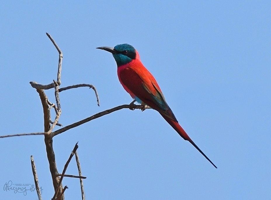 Ptaki Etiopii - w Dolinie Omo.