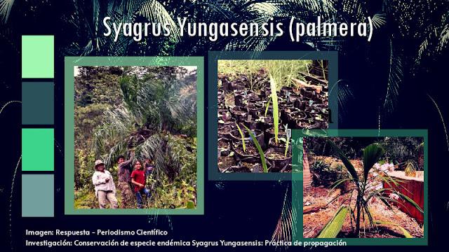 Especie de palmera boliviana en peligro de extinción