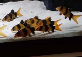 Clown Loach Size, Lifespan, Behavior, Breeding, Tank Mates
