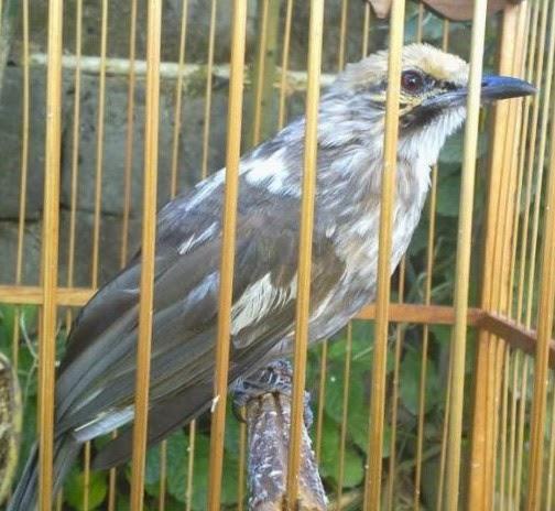 Daftar Harga Burung Cucak Rowo Bulan Januari  Daftar Harga Burung Cucak Rowo Bulan Januari 2018