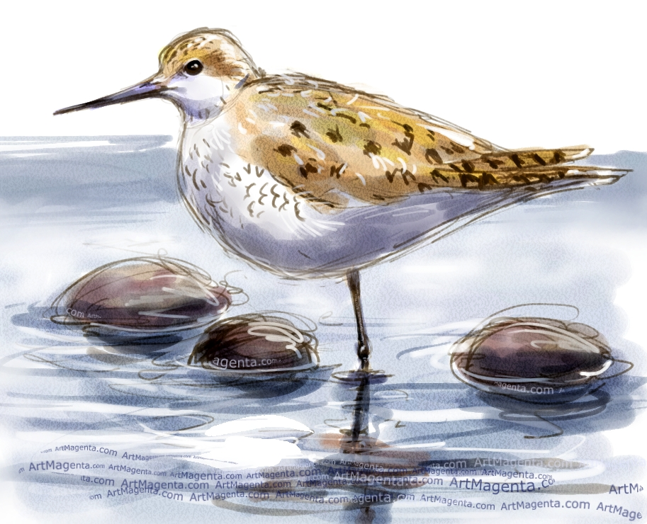 Marsh Sandpiper sketch painting. Bird art drawing by illustrator Artmagenta