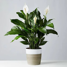 Peace Lily (Spathiphyllum) in a white and brown pot on a white surface.