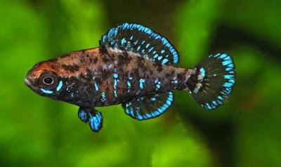 Dwarf Argentine Pearlfish