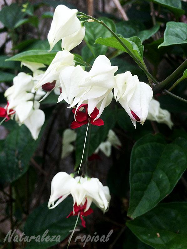Flores características de Clerodendrum thomsoniae