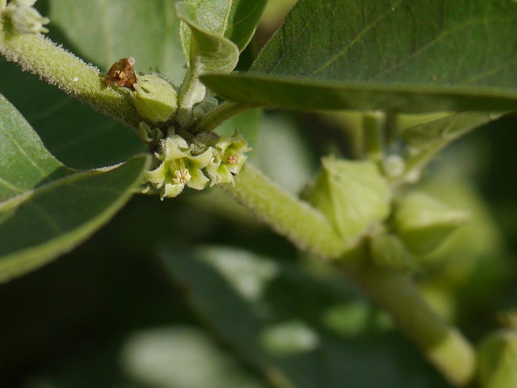 Ashwagandha - About the Herb, Uses, Benefits and Side Effects