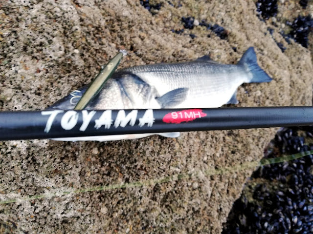 TOYAMA%2B1 - Robalo pescado con equipo de spinning lihgt 🐟