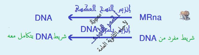 إستنساخ تتابعات dna -  عملية الإستنساخ – الحصول على قطع dna – إنزيمات القطع – القصر البكتيرية – إنزيم النسخ العكسى -  أحياء الثالث الثانوى