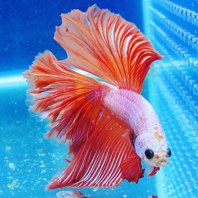 Image Where to Buy Betta Fish