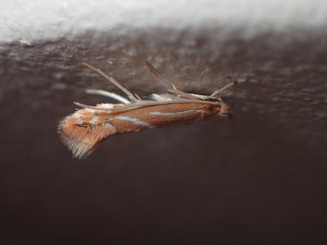 Phyllonorycter leucographella