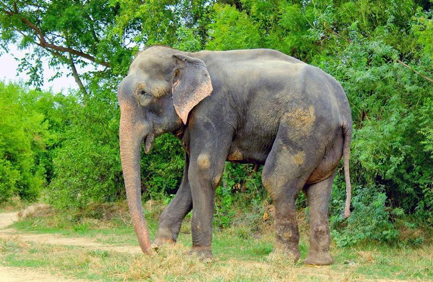 Chú voi Raju được giải cứu sau 50 năm xiềng xích ngày ấy bây giờ ra sao? 4