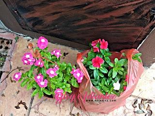 Sentiasa Berbunga | Pokok bunga vinca penambah manis halaman rumah