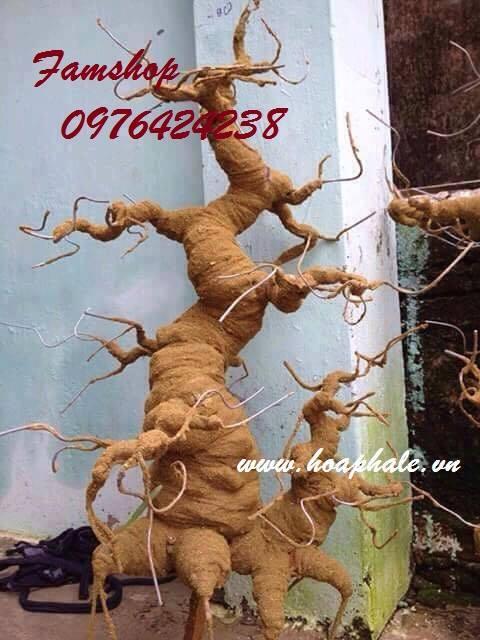 Goc bonsai mai dao o Tay Ho