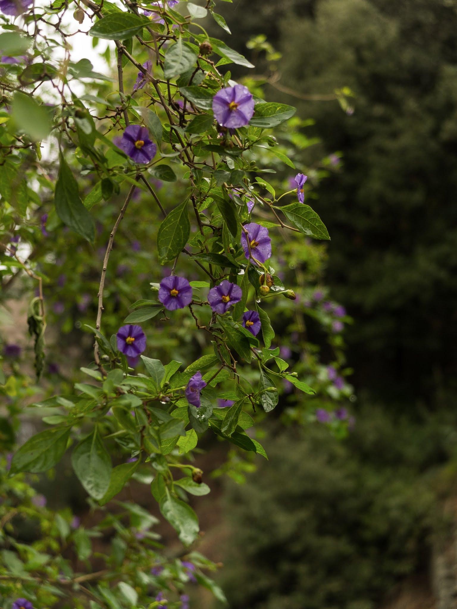 Purple flowers of Lycianthes rantonnetii, the blue potato bush, Paraguay nightshade.