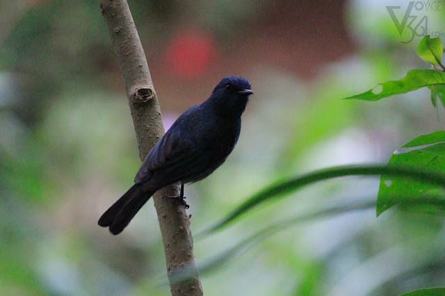 Black Flycatcher(13 cm) - Ooty