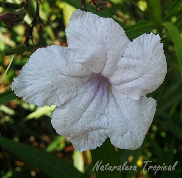 Variedad blanca de una flor del género Ruellia