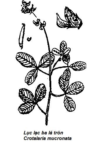 Hình vẽ Lục lạc ba lá tròn - Crotalaria mucronata - THÔNG TIỂU TIỆN VÀ THÔNG MẬT
