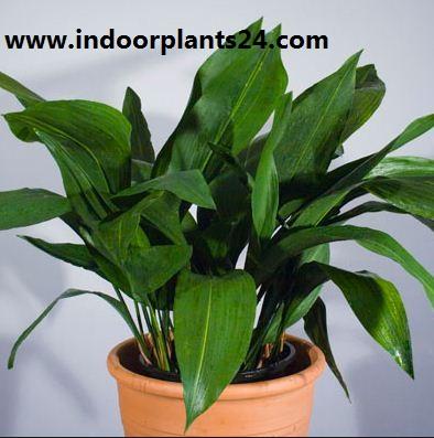 Aspidistra Eatior Liliaceae indoor plant image