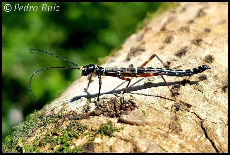 "Ninfa macho L3 de Orthomeria kangi ""Benguet"", 2,3 cm de longitud"