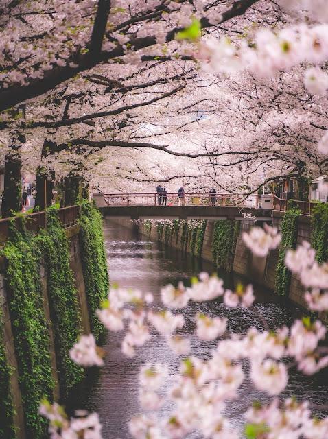 目黒川,桜,桜並木,2020