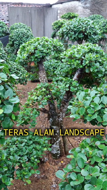 suplier pohon beringin korea