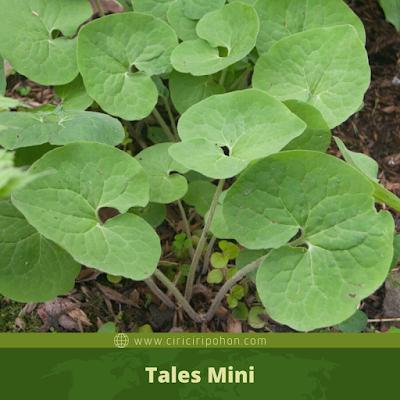 Tales Mini