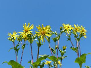 Silphe perfolié - Silphium perfoliatum - Plante bain d'oiseau