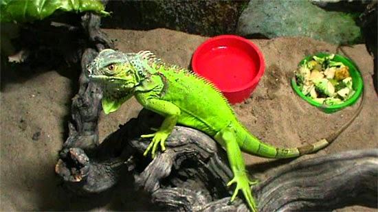 Terrário Iguana