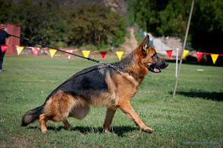 All You Need To Know About German Shepherd Dog, German shepherd puppy, Schutzhund training, german shepherd kennel, German shepherd breeder