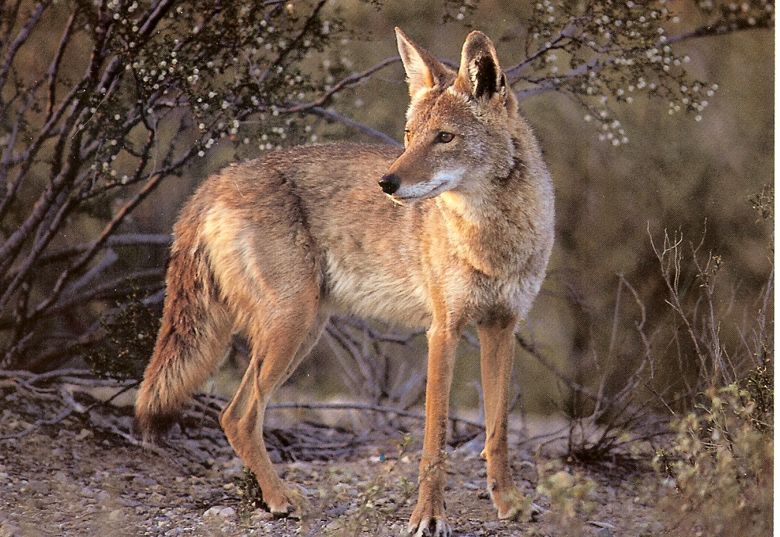 true wild life coyote coyotes prairie wolf are native to north and ...