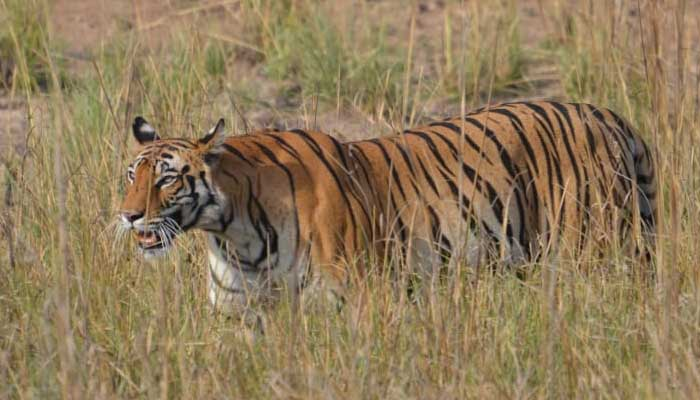 radio-collared tiger in India, tiger population, wildlife sanctuary, Yavatmal district in Maharashtra, in Dhyanganga sanctuary, Buldhana, GPS data  generated, Maharashtra and Telangana, jungle in Vidharbha,