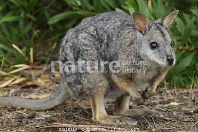 Wallaby de Tammar (Macropus eugenii)