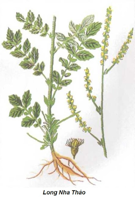 Long nha thảo - Agrimonia nepalensis - CẦM MÁU
