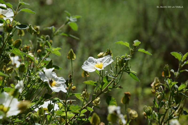 flores blancas de plantas mediterráneas cistus